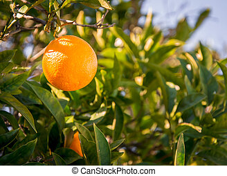 orange hanging tree - orange hanging on tree ready to be...