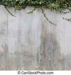 cement wall texture and green leaf Ivy - cement concrate...