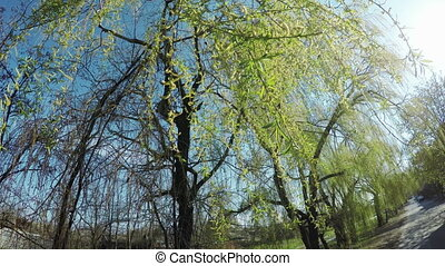 Blossoming willow on nature
