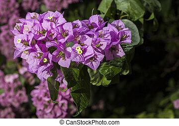 grupo, de, flores, de, bougainvillea,