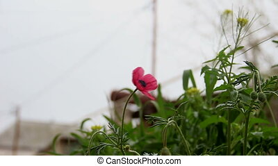Red Poppy flower among grass. A little wind is blowing Close-up.