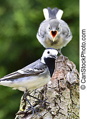 White wagtail  child - White wagtail with a child
