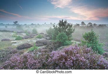 misty heathland in summer, Drenthe, Netherlands