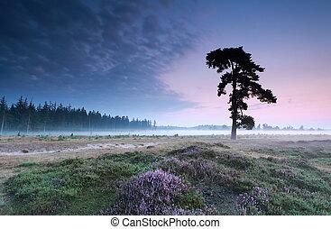 pine tree on heathland in summer, Friesland, Netherlands
