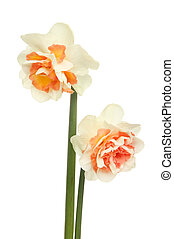 Two frilly Daffodils - Two frilly white and orange Daffodil...