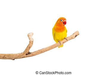 Double Yellow Lovebird on branch and white background