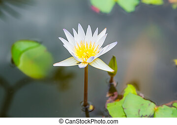 water lily, lotus flower in nature