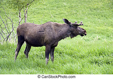 Big male moose - A big male moos standing on green grass