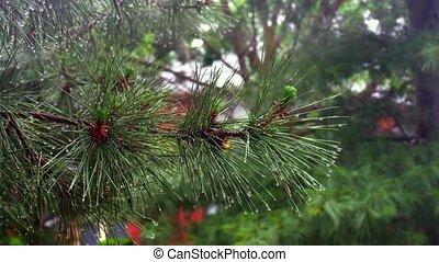 heavy rain Thuja tree - Trees In Heavy Rain heavy rain Thuja...
