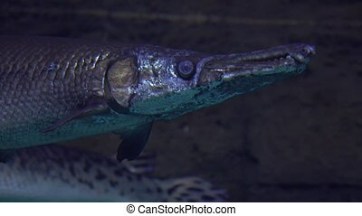 Pike floating under water 4K close up video clip