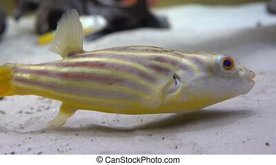 Striped fish with yellow tail floating above sandy bottom....