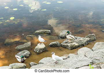 Amazing mallard ducks animal on stone - Birds and animals in...