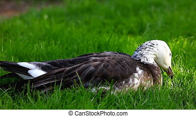 duck feed on grass