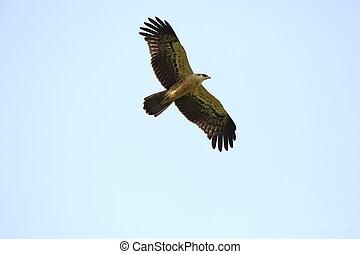 Ayres's Hawk-Eagle (Hieraaetus ayresii) in Nyungwe National...
