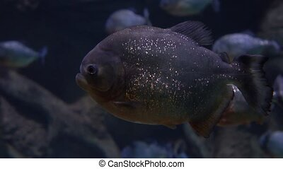 Close up 4K video of piranhas floating under water - Close...