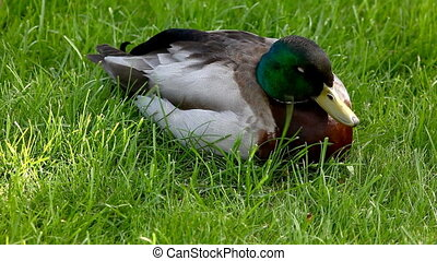duck sit on grass