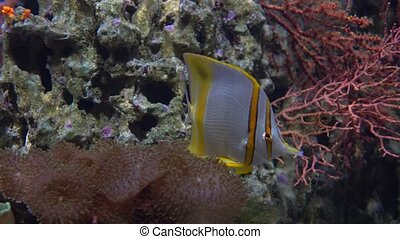 Butterfly fish floating under water against coral 4K video