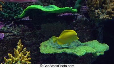 Bright yellow butterfly fish floating under water against coral. 4K video