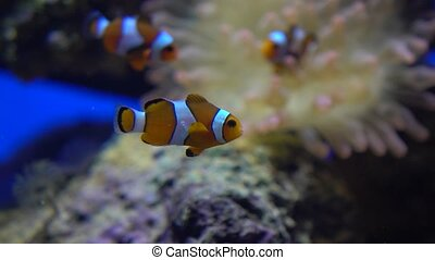 Three bright striped clown fishes float under water against...