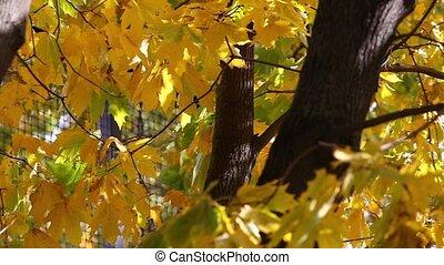 Sunny fall day pan video of green and yellow maple tree leaves