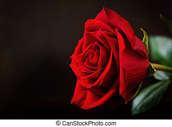Red rose on a black background.