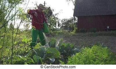 Grower cowboy man apply chemicals on cabbage vegetable...
