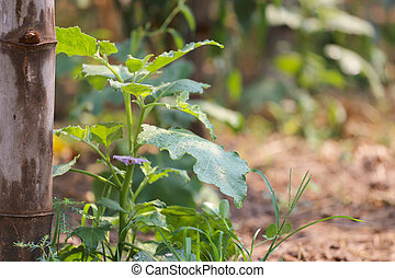 eggplant tree in the vegetable garden. - eggplant tree in...