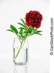 Peony in a glass vase with water