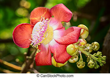 Blooming cannon ball tree (Couroupita guianensis),...