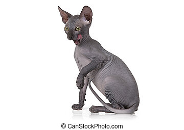 Hairless Don Sphinx kitten - Studio shot of hairless Don...
