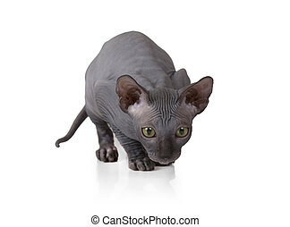 Hairless Don Sphinx kitty cat in studio - Two months old Don...