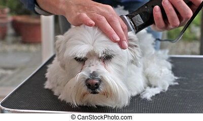 Grooming white dog by the electric razor. Dog is lying in...