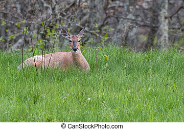 White Tailed Deer Resting in Tall Green Grass before dusk