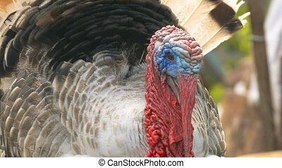 the head of a large turkey close-up slow motion video - the...