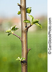 Buds on a young spring apple tree in bright sunshine -...