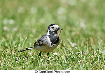 White wagtail Motacilla alba - White wagtail standing in...