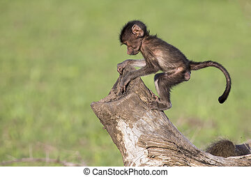 Cute baby baboon sits on tree stump to play - Cute baby...