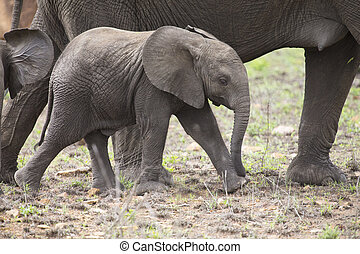 Breeding herd of elephant walking and eating on short grass...