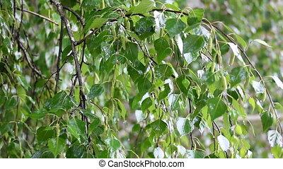birch tree under rain - birch tree leaves close-up under...