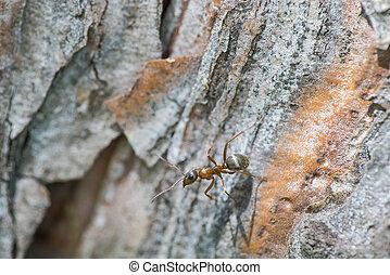 Ant walking on tree bark, close-up shot - Ant walking on...