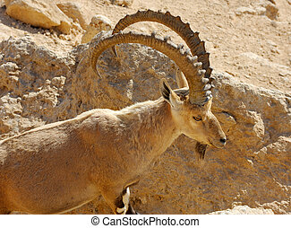 Mountain goat in the Makhtesh Ramon, Israel
