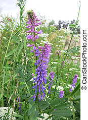 Tufted vetch or Bird vetch Vicia cracca in the meadow