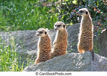 Meerkats, reizend, dreieinigkeit
