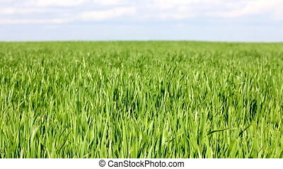 green field with wheat under blue sky