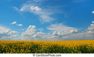 flowering rapeseed - golden field of flowering rapeseed with...
