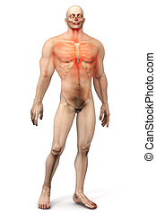 Male Anatomy - Chest Pain