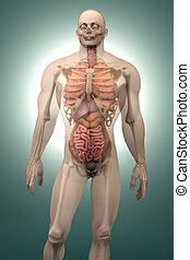 Human Anatomy visualization - Internal Organs - 3D...