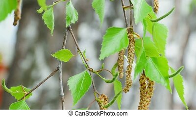Birch twig with catkins