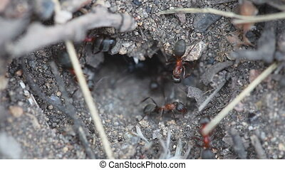 Ants in an anthill close-up - Red and black ants clearing...