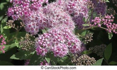 Spirea Flower Pink in the summer garden